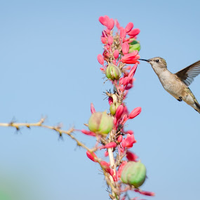 Nectar Snack by Craig Curlee - Animals Birds ( bird, hummingbird, texas, ruby throat, close up )
