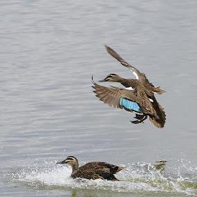 incoming by Jason Day - Animals Birds ( birds )