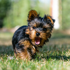Tommy the Yorkie by Bobby Stocks - Animals - Dogs Puppies ( canine, yorkshire terrier, yorkie, furry, outdoors, puppy, dog, animal )