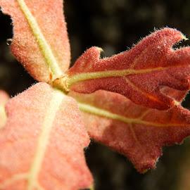 Young Oak Leaves by Sandra Aguirre - Nature Up Close Leaves & Grasses ( orange, macro, oak leaves, autumn', oak )