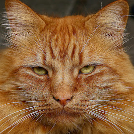Solemn Frank by Chrissie Barrow - Animals - Cats Portraits ( orange, cat, ginger, stare, male, long, portrait, eyes, pet, whiskers, ears, fur, nose )