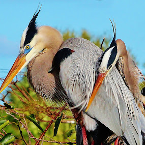 Heron love by Peg Elmore - Animals Birds ( two, nesting, mates, birds, blue herons )
