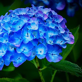 Blue by Radu Eftimie - Flowers Single Flower ( blue, hortensia, flower )