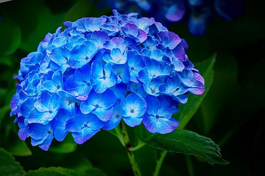 Blue by Radu Eftimie - Flowers Single Flower ( blue, hortensia, flower )