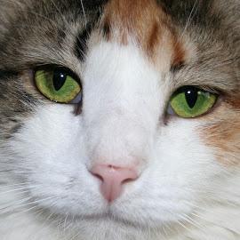 Chloe by Kari Schoen - Animals - Cats Portraits ( calico, cat face, cat, cat eyes, cat portrait, green eyes, portrait, calico cat )
