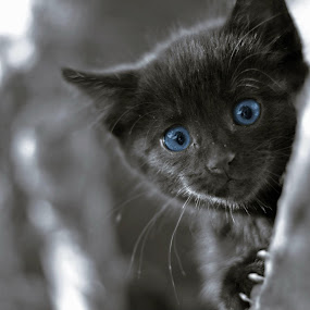 Here Kitty by Robbie Caccaviello - Animals - Cats Kittens ( cat, kitten, boo, tree, blue, hiding, blue eyes, fun, cute, kitty, outside, hide and seek )