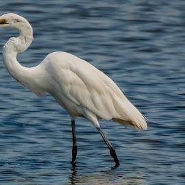 Fish On by Jeff Brown - Animals Birds ( waterfowl, wetland, animals, birds, water, marsh )