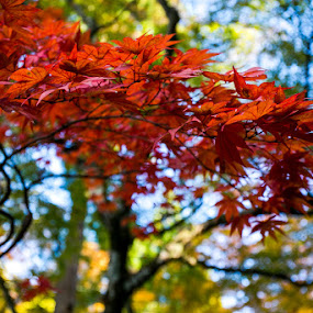 Momiji by Key Exprojjak - Nature Up Close Other Natural Objects