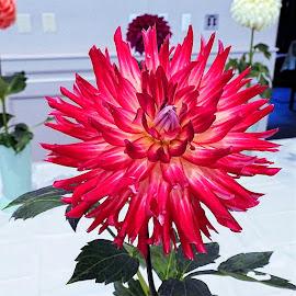 Dahlia by Mary Gallo - Flowers Single Flower ( dahlia, nature, nature up close, flower )