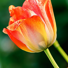 Tulip by Fotugraphar Quazi - Nature Up Close Flowers - 2011-2013 ( nature, colorful, tulip, wallpaper, flower )