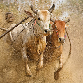 The Cow Race by Annemarie Rulos  - People Street & Candids ( pacu, sumatra, indonesia, jawi, cow, race, animal, motion, animals in motion, pwc76,  )