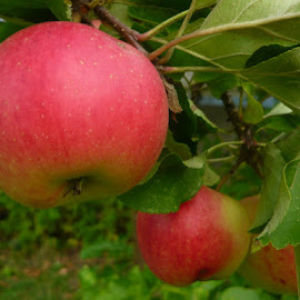 Apples by Helena Moravusova - Nature Up Close Gardens & Produce ( fruits, nature, apples )