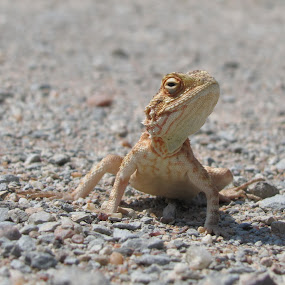 Lizzard by Gerrit vd Merwe - Novices Only Wildlife