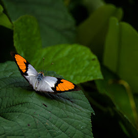 by Debasish Sengupta - Animals Insects & Spiders ( butterfly, insect )