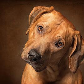 Quizical Ridgeback by Linda Johnstone - Animals - Dogs Portraits ( ridgeback, brown eyes, rhodesian ridgeback, dog portrait, cute, dog, cute dog )
