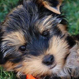 Yorkie Cuteness by Ruari Plint - Animals - Dogs Puppies ( love, huggable, sweet, fluffy, yorkie, stare, brown, terrier, puppy, cute, hair )