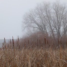 Willows by Jennifer Ablicki - Landscapes Prairies, Meadows & Fields ( willows, fog, trees, marsh, brush )