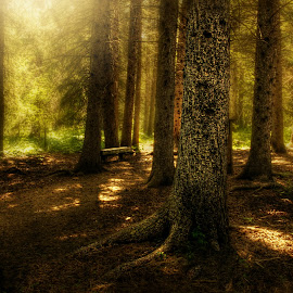 Among the Conifers by Michele Richter - Landscapes Forests ( hdr )