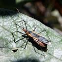 Zelus Assassin Bug