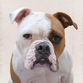 Gunner - A Shelter Dog by Ginger Wlasuk - Animals - Dogs Portraits ( shelter, american bulldog, bully breed, dog )