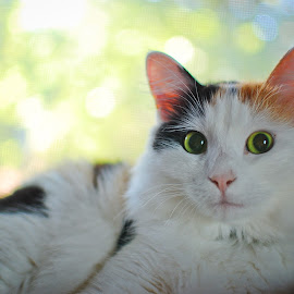 Wide Eyed by Danielle C - Animals - Cats Portraits ( kitten, cat, fluffy, portrait, calico cat )
