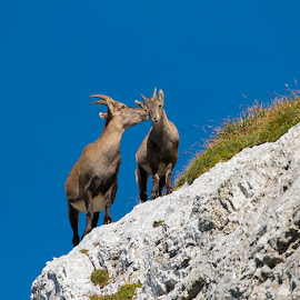 Motherly love by Blaž Ocvirk - Animals Other Mammals ( mother, dother, son, capricorn )