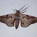Masked Looper Moth
