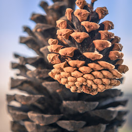 Big Cone Little Cone by Darrell Evans - Nature Up Close Other Natural Objects ( plant, scale, conifer, conifer pine, pine cone, nature, scales, flora, female, gymnospermae, pinaecae, pine, small, large )
