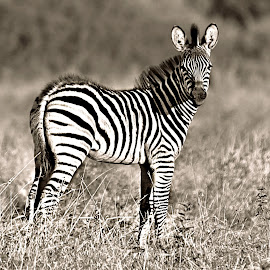 Baby Zeb by Pieter J de Villiers - Black & White Animals