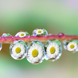 Daisies and Raindrops by Jacqueline Lancelotte - Nature Up Close Natural Waterdrops ( reflections in raindrops, macro flower, diasy flower, raindrops )