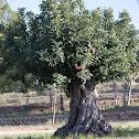 Carob Tree; Algarrobo