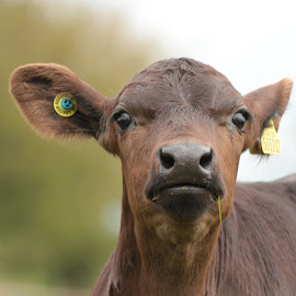 Sweet Grass by Miranda Askwith - Animals Other ( faces, novices only, nature up close, cow, brown, animal,  )