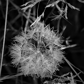 Dandelion Clock by Sarah Harding - Novices Only Flowers & Plants ( plant, nature, novices only, garden, flower )
