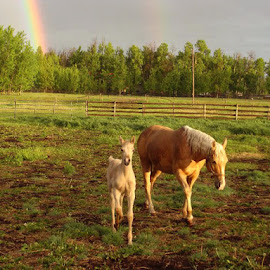 After the Rain by Linda Doerr - Animals Horses ( field, farm, mare, horses, colt, sunset, rainbow,  )