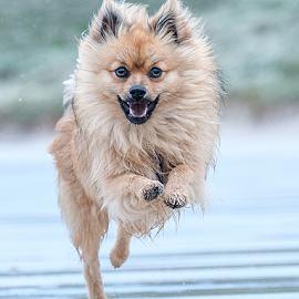 lets go by Michael  M Sweeney - Animals - Dogs Puppies ( scotland, puppy, beach, michael m sweeney, run, dog, eyes )