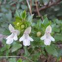 White Hedge-Nettle