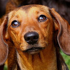 Looking at Mum by Chrissie Barrow - Animals - Dogs Portraits ( smooth, mouth, pup, young, portrait, eyes, red, female, pet, dachshund (miniature smooth), fur, ears, puppy, dog, nose, tan )