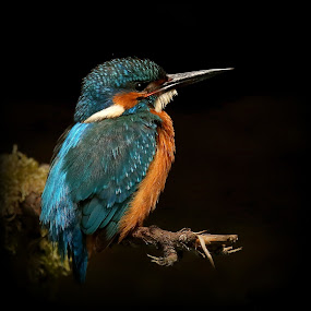 The bluegreen jewel by Lillian Utstrand Gulliksen - Animals Birds ( isfugl, alcedo atthis, kingfisher, blue jewel, fishingbird )