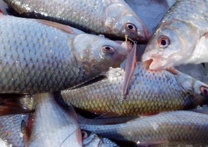 Як на свята вибрати якісний рибний продукт