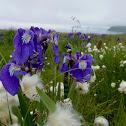 Wild Flag Iris