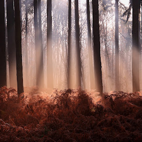 Morning Sun Rays by Ceri Jones - Landscapes Forests ( winter, season, tree, autumn, woodland, pine, woods, ferns, sun, rays )