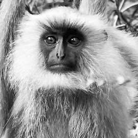 Portrait of a Langur by Pravine Chester - Black & White Animals ( monochrome, langur, black and white, photography, monkey, animal,  )