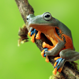 Lonely by Kurito Afsheen - Animals Amphibians ( canon, macro, frog, indonesia, amphibian, animal )
