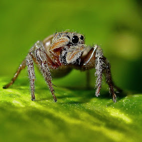 Jumping Spider by Bhavya Joshi - Animals Insects & Spiders