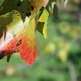 by Lenora Popa - Nature Up Close Leaves & Grasses ( macro, nature, fall colors, fall, leaves )