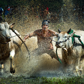 Cow Race (Pacu Jawi) @ Padang , Indonesia by CK NG - Sports & Fitness Other Sports ( bull race, cow race (pacu jawi) @ padang, padang, indonesia, indonesiaracing, pacu jawi, bull )
