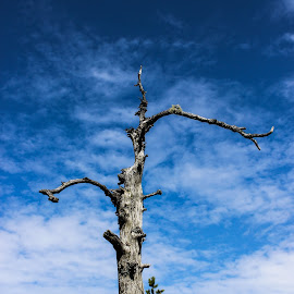 dead tree in swap by Jarmo Ainasoja - Nature Up Close Trees & Bushes ( blue sky, tree, high, dead, swamp )
