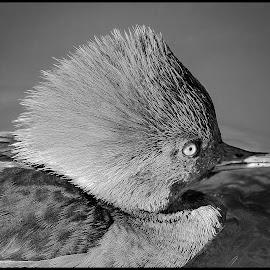 Hooded Merganser by Dave Lipchen - Black & White Animals ( hooded merganser )