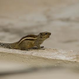 Squirrel by Navin Kumar - Animals Other
