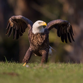 Proud and Beautiful by Lynn Kohut - Animals Birds ( bird, bold, bird of prey, eagle, nature, bald eagle, wildlife, raptor,  )